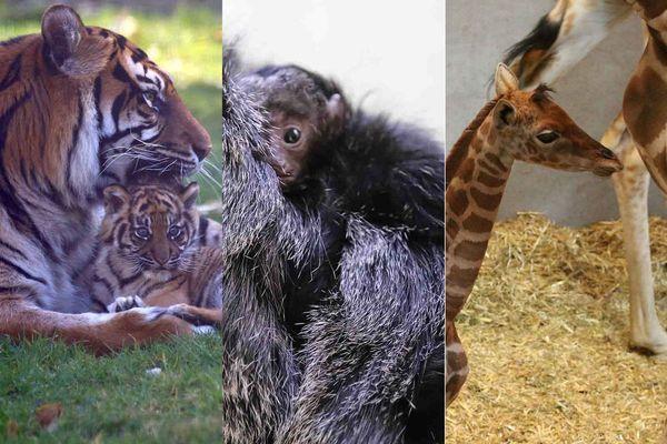 Le zoo de Champrepus a accueilli depuis noël dernier trois nouveaux bébés