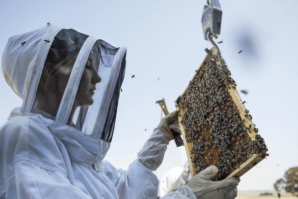 Chercheuse de l'INRA observant abeilles