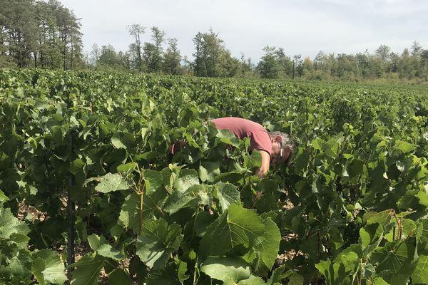 Un viticulteur penché sur ses vignes dans la commune des Riceys, dans l'Aube.
