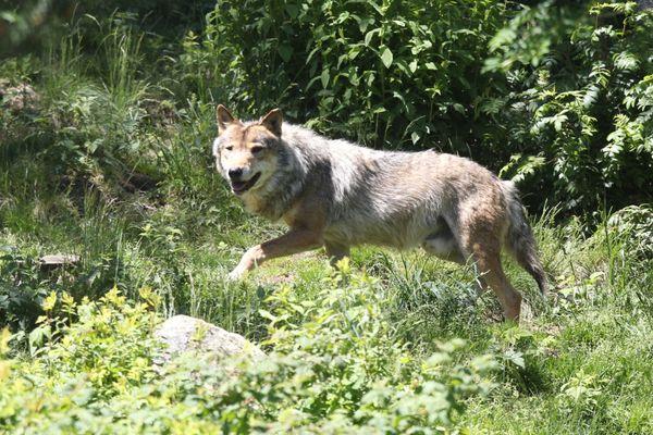 Loup gris en semi liberté photographié en 2015 dans le sud-ouest de la France - Archives