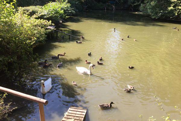 Des canards et cygnes batifolent gaiement chez Danielle Peyrot des Gachons, amie des oiseaux.