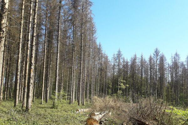 Une forêt ardennaise ravagée par la prolifération de scolytes.