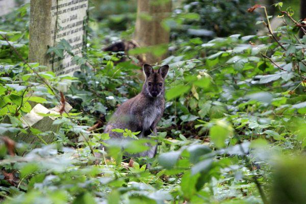 Un kangourou se promène dans une petite vallée du Lot, entre Cremps et Esclauzels.