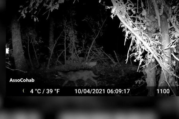 Voici le cliché d'un loup gris, photographié de nuit dans une forêt dans le Beaujolais, qui a réveillé les inquiétudes.