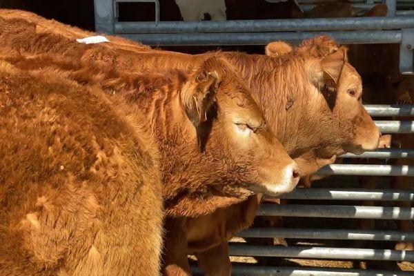 Malgré le coronavirus, au marché au cadran d'Ussel-Chénérailles, les bovins se sont vendus aux prix habituels