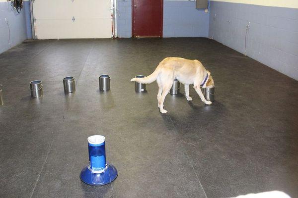 Un chien renifle un par un des réceptacle contenant des odeurs. S'il s'arrête c'est qu'il a identifié celle qui possède un marqueur olfactif produit pendant une crise d'épilepsie
