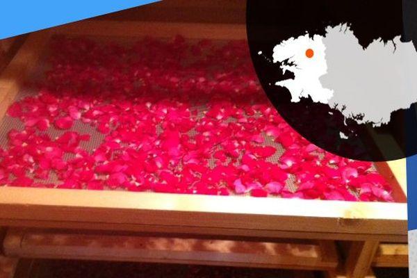 Les pétales de rose peuvent servir pour la préparation de tisanes