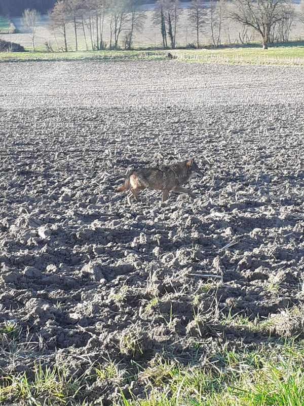 """Un canidé, probablement un loup a été vu ce lundi 20 janvier 2020 à Gurat, au lieu dit """"Le puits""""."""