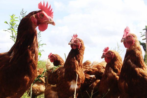 Après 18 mois, chaque poule peut pondre encore 3 à 4 ans, un millier d' œufs environ