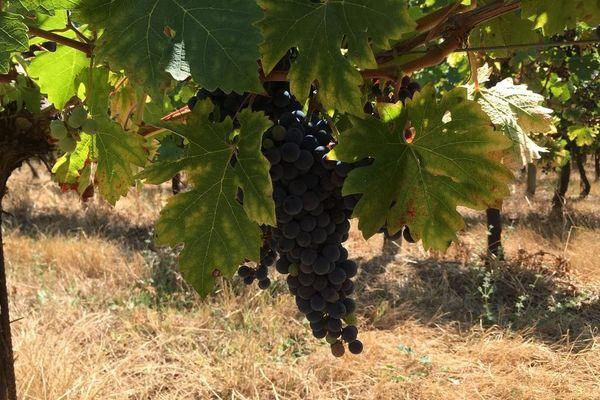 L'état sanitaire du vignoble de Bergerac est bon malgré un printemps humide.