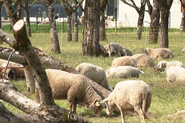 Des nuciculteurs isérois confient le désherbage de leurs parcelles à des moutons.