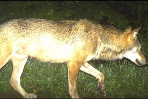 Voici la photo du loup à Foncine