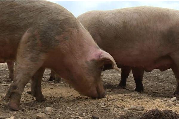 Les porcs du Ventoux sont nourris chaque matin avec de l'épeautre de Sault.