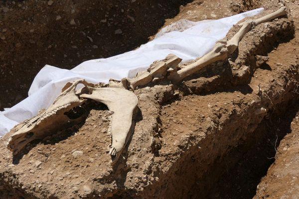 Une partie d'un squelette de cheval trouvé sur le site de l'ex clinique Sainte-Marthe, à Dijon.