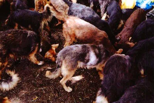 Il y aurait sur ce terrain, en liberté, une centaine de chiens dont l'état de santé est très inquiétant.