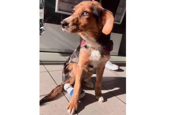 Beauté Céleste, jeune chienne de 6 mois a été criblée de plombs et laissée agonisante dans un fossé à Sablé-sur-Sarthe
