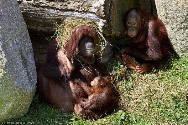 Les orangs-outans de Bornéo sont une espèce au bord de l'extinction à l'état sauvage.