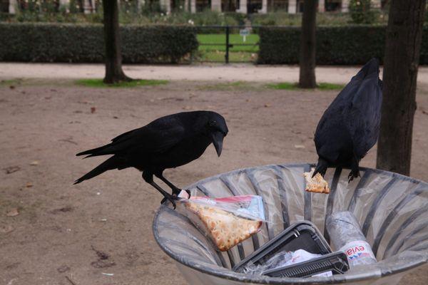 Deux corneilles noires à la recherche de nourriture dans une poubelle du jardin du Palais Royal à Paris. Avec les corbeaux et les pies, elles sont aussi capables de ramasser des déchets comme les mégots.
