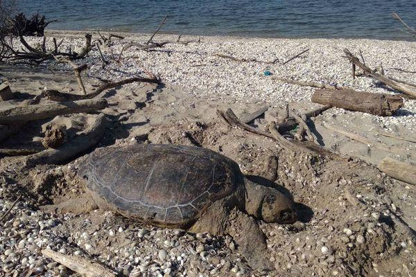 La tortue a été découverte lundi matin échouée au Jaï.