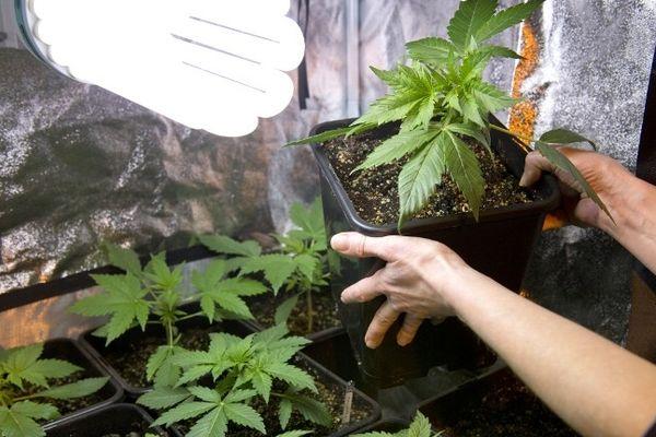 Une plantation de cannabis privée en Indre et Loire