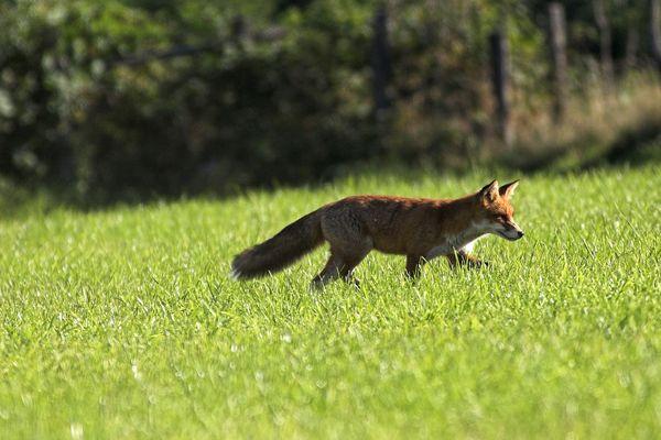 Le renard roux est pour l'instant classé sur la liste des espèces nuisibles