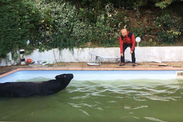 Un jeune taureau s'est retrouvé coincé dans une piscine mardi. Les pompiers de Corse-du-Sud sont venus lui porter secours.