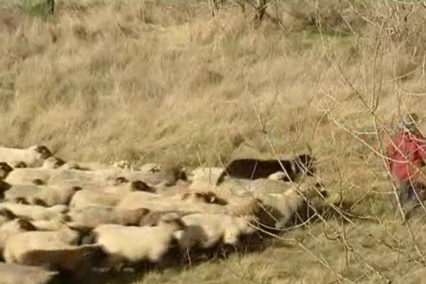 350 moutons vont entretenir l'ancien terrain militaire à Challuy