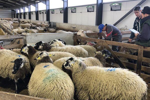 Parmi les épreuves de cette finale départementale des Ovinpiades, les apprentis éleveurs du Puy-de-Dôme ont dû trier les bêtes