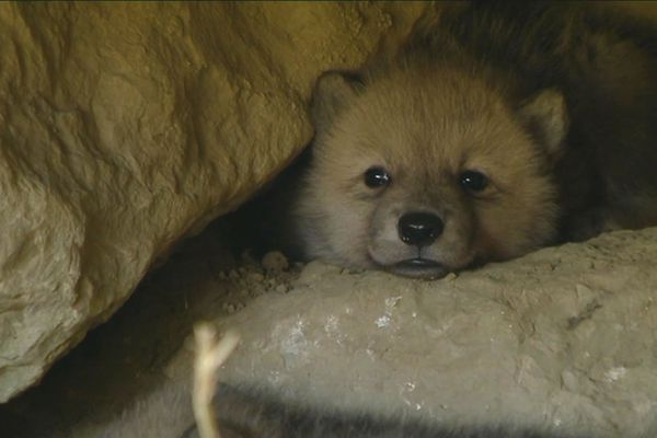 La tanière des loups arctiques du Domaine des Fauves de Fitilieu abrite trois louveteaux, deux femelles et un mâle.