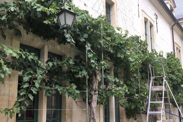 Vendanges des plus anciennes vignes de Reims