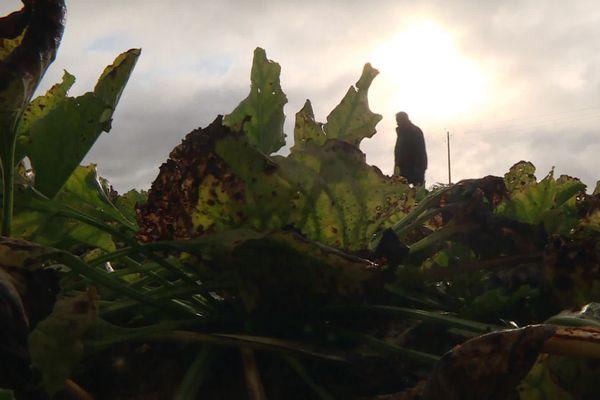La jaunisse dans un champ de betterave, à Mamers, en Sarthe