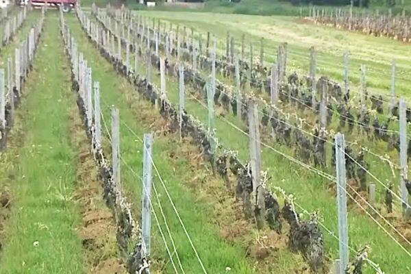 Des vignes dans le Mâconnais