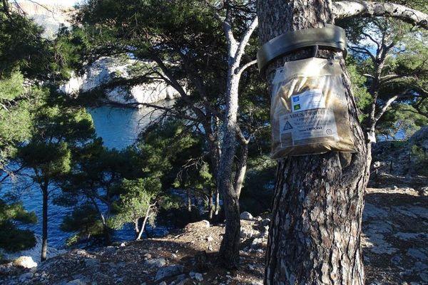 Les pièges sont installés sur les pins du parc national des Calanques.