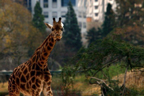 Une girafe du parc de la Tête d'Or