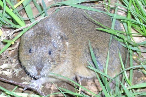 Le rat taupier ou campagnol terrestre pullule dans toute la région Auvergne-Rhône-Alpes, essentiellement en Ardèche, dans le Puy-de-Dôme ou la Loire, ainsi qu'en Isère.