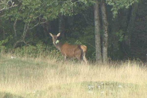 Il faut parfois une journée entière avant que le cerf féconde la biche. La reproduction de l'espèce en dépend.