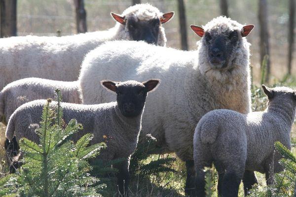 Les moutons de la race Shropshire permettent de désherber les sapins sans utiliser de produits chimiques.