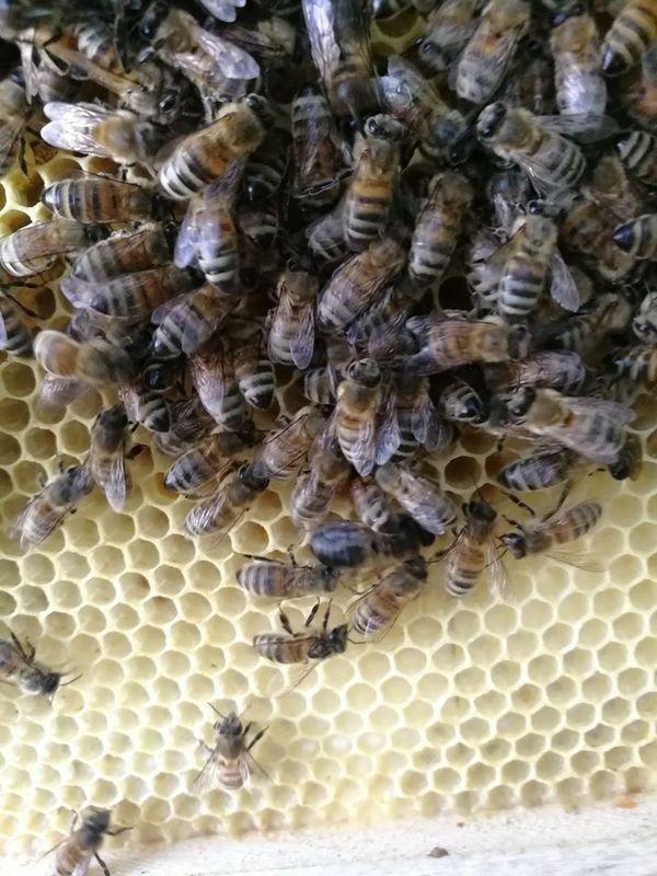 Les abeilles régulent elles même la température et l'hydrométrie de leurs espaces de vie, mais la météo joue un rôle déterminant
