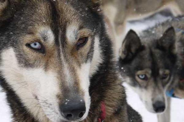 ces chiens ont les yeux de couleurs différentes (comme David Bowie)