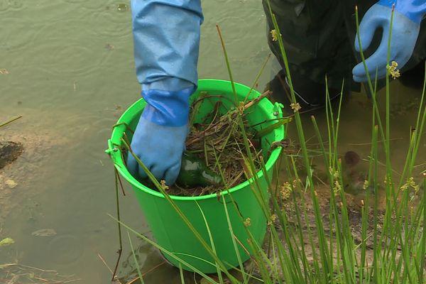 Juin 2021- Opération d'arrachage de la plante invasive Crassule de Helms dans un étang de Port-Jérôme-sur-Seine (Seine-Maritime)