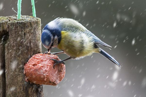 Une mésange bleue se nourrit sur une boule de graisse?