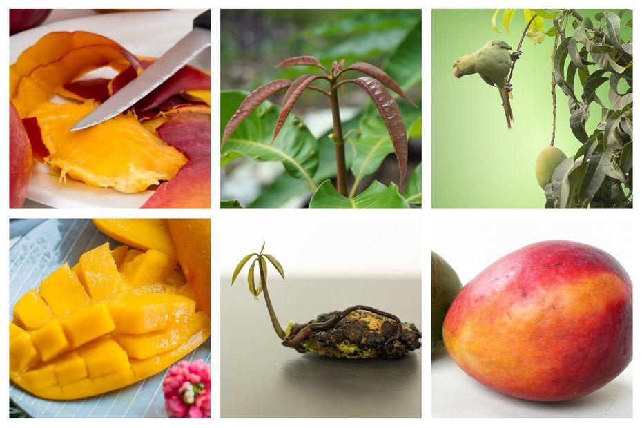 "Jardinage : plantez un noyau de mangue en hiver ""facile"""