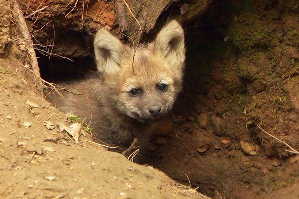 Originaire d'Amérique du Sud, ce loup fructivore est menacé dans son habitat d'origine à cause de l'agriculture et de la chasse. Les trois naissances au zoo de Calviac sont une bonne nouvelle