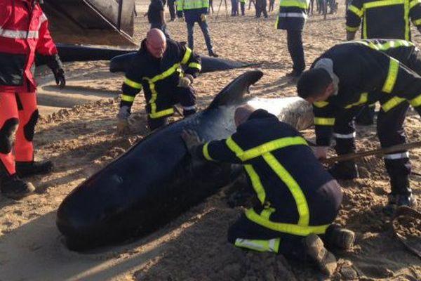 10 baleines se sont échouées sur la plage de Calais.