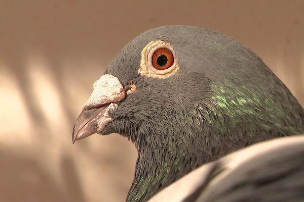 Les pigeons voyageurs de Tanguy Gervois, champion de France de colombophilie