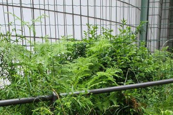 Plantations en pleine terre avec pavés à joints enherbés en pied d'immeuble, rue Marcadet Paris 18e