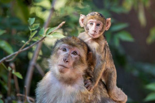 Magot à la Montagne des singes