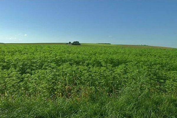 Le chanvre est utilisé comme un isolant 100 % naturel et il est cultivé depuis plus de 30 ans dans l'Aube.