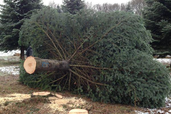 Voici l'arbre qui sera installé dans la cour de l'Elysée pour Noël 2015.