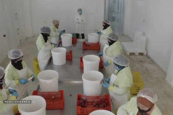 Une brigade de femmes épluchent les figues de Barbarie dans l'atelier